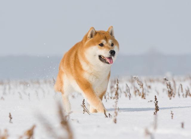 акита ину на снегу