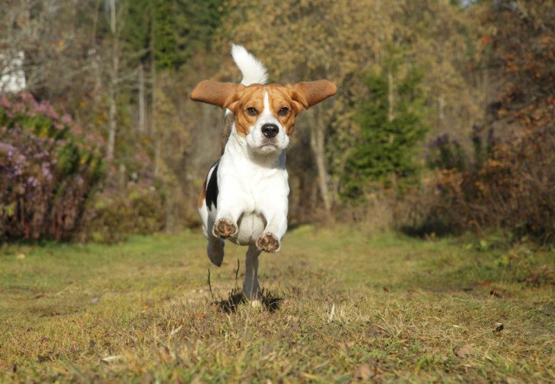 Бигль бежит