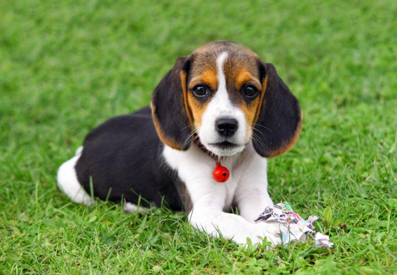 Бигль щенок на траве
