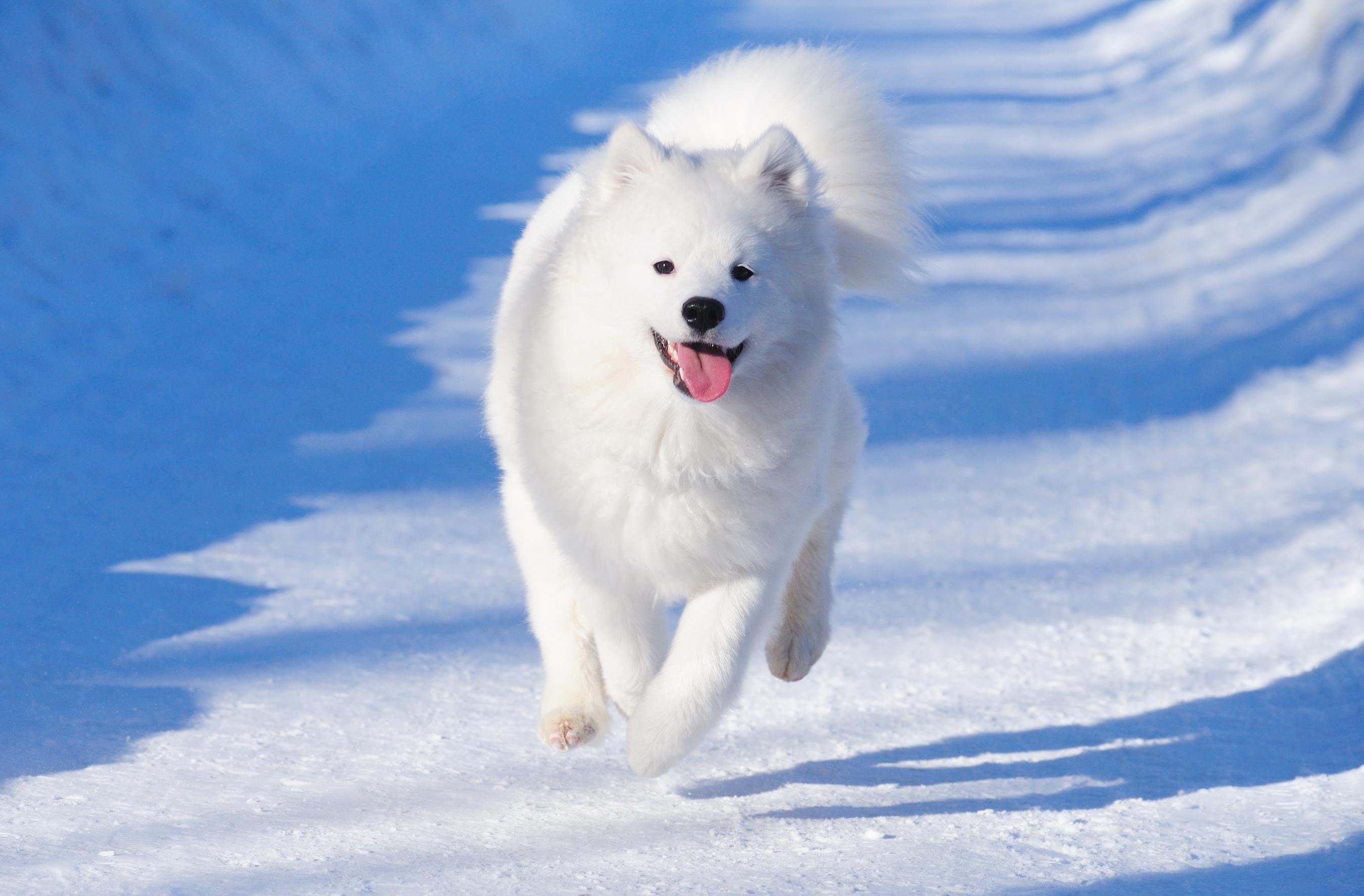 Самоедская собака на фоне снега