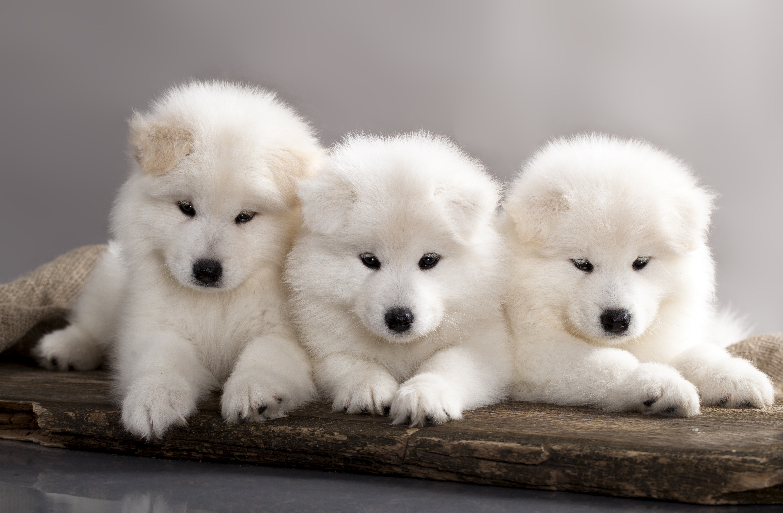 Три щенка самоедской лайки