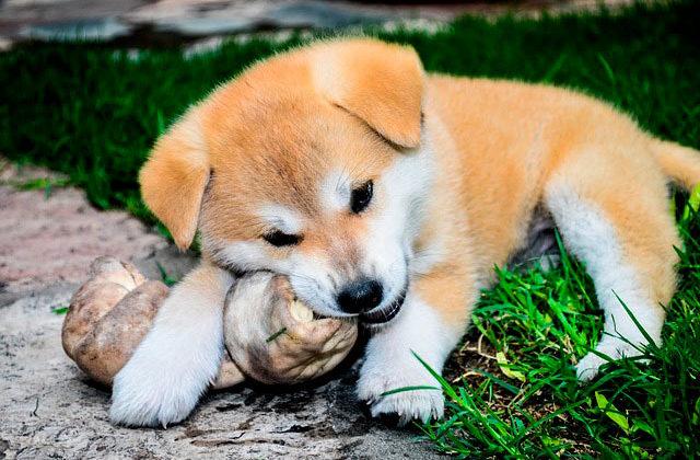 акита ину щенок ест