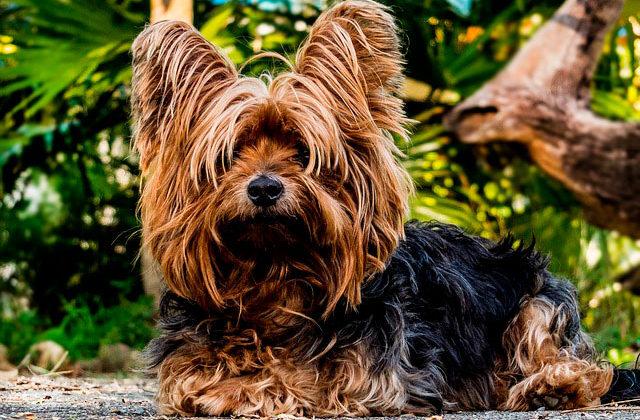 йоркширский терьер с большими ушами