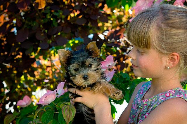 щенок йоркширский терьер и девочка