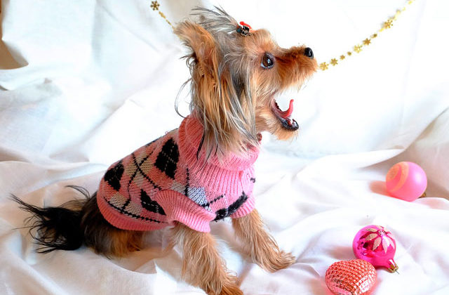 йоркширский терьер в свитере