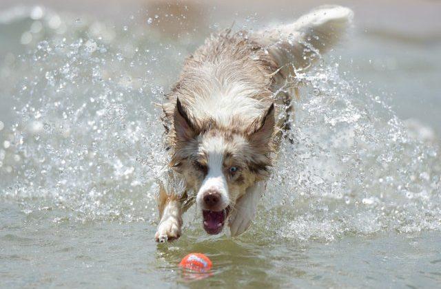 Австралийская овчарка аусси – игра с мячиком в воде