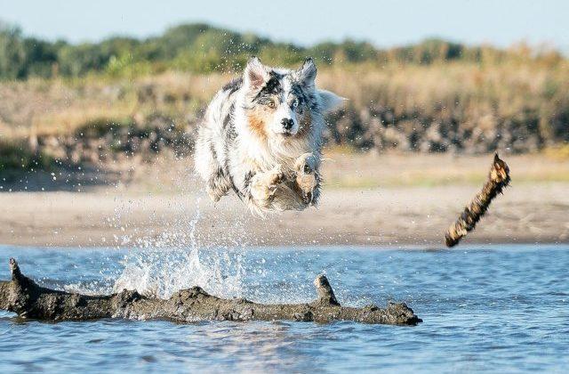 Австралийская овчарка – бег в воде