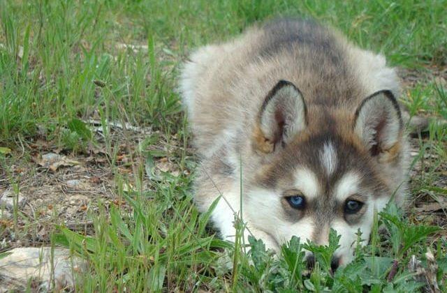 Аляскинский кли-кай лежит на траве