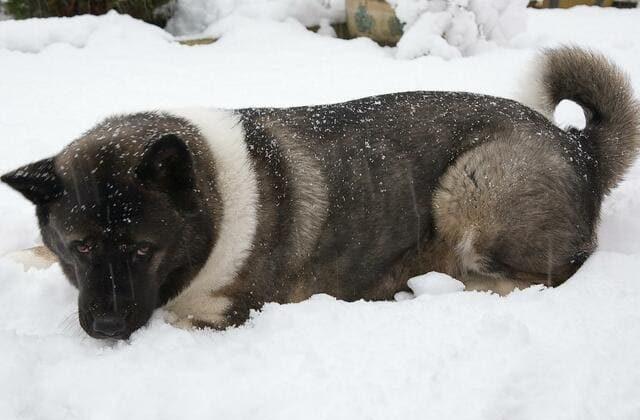 Американская акита лежит на снегу