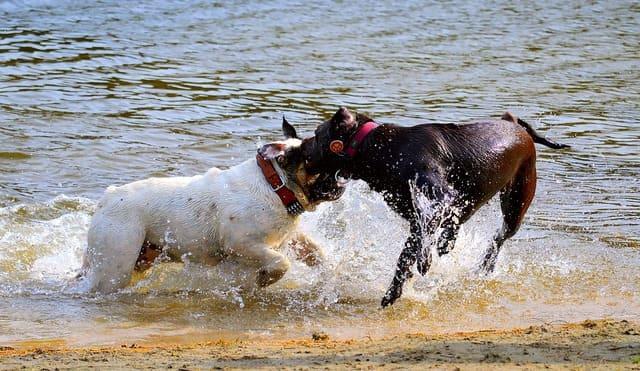 Американский бульдог – игра в воде
