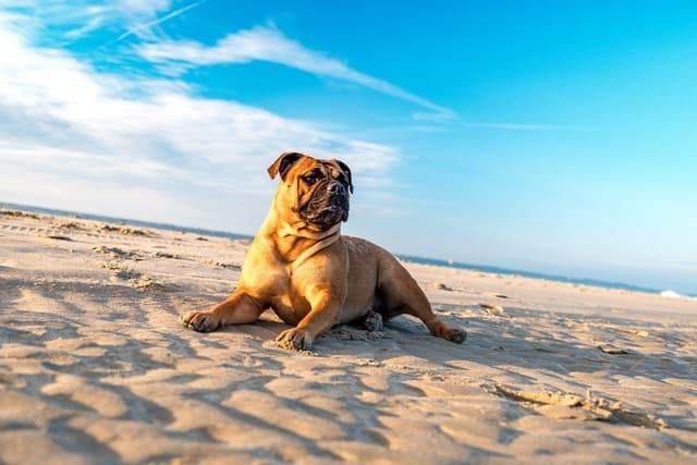 Американский бульдог на пляже