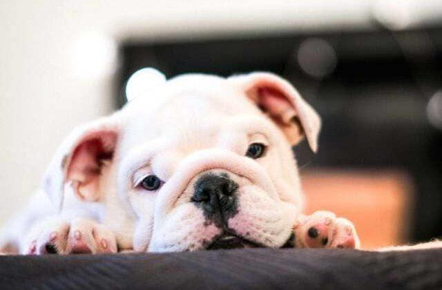 Белый щенок американского бульдога