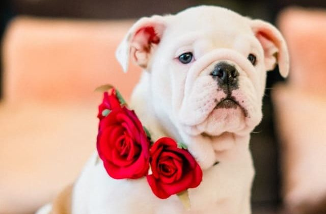 Английский бульдог – щенок белого окраса