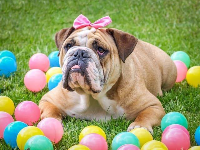 Английский бульдог – внешний вид собаки