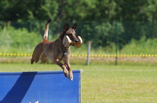 Бельгийская овчарка – прыжки через барьер