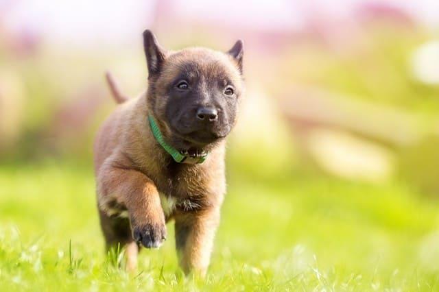 Бельгийская овчарка – выбор щенка