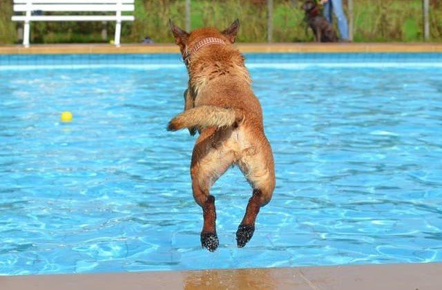 Бельгийская овчарка в бассейне