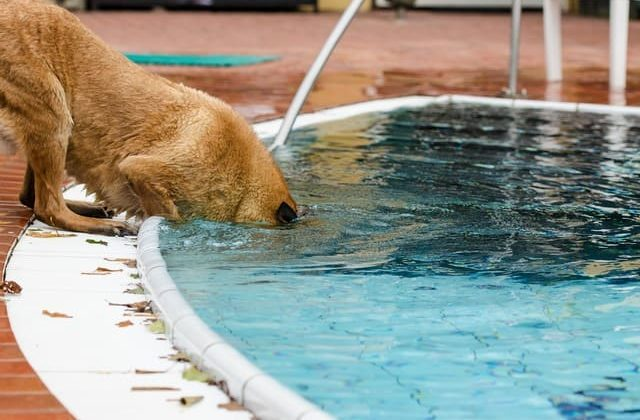 Бельгийская овчарка играет в бассейне