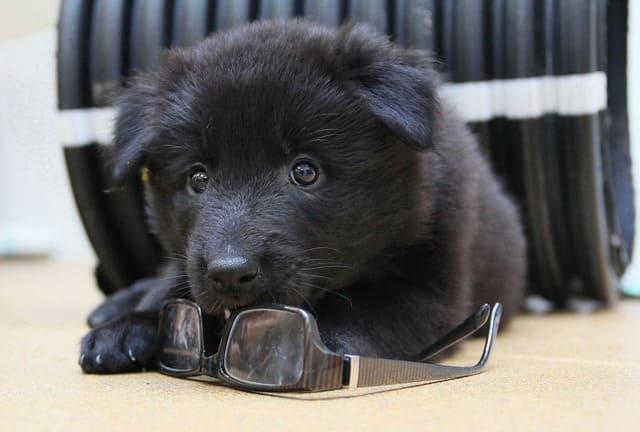 Бельгийская овчарка Грюнендаль – черный щенок