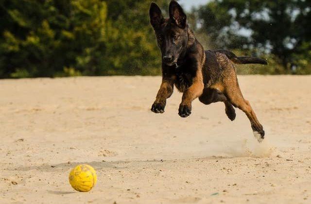 Бельгийская овчарка Малинуа – игра с мячом