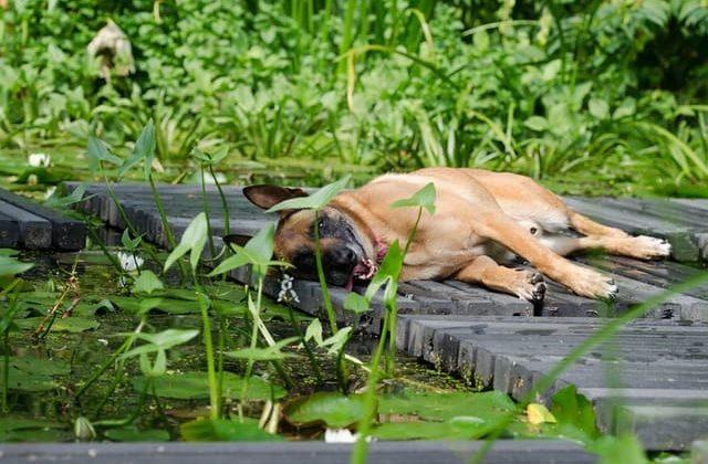 Бельгийская овчарка Малинуа лежит у воды