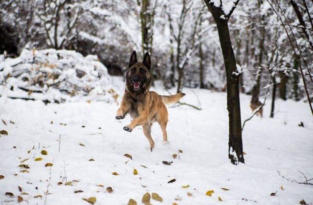 Бельгийская овчарка Малинуа на зимней прогулке