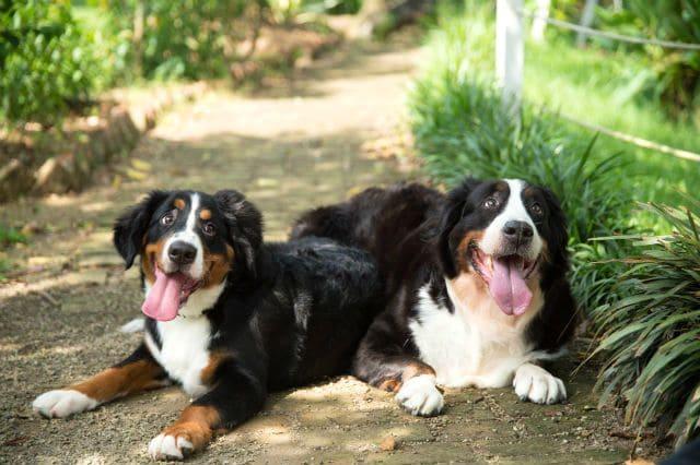 Две собаки породы Бернский зенненхунд