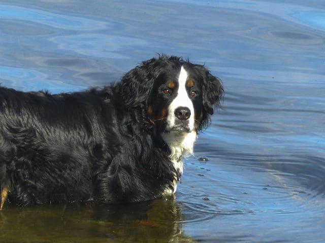Бернский зенненхунд в воде