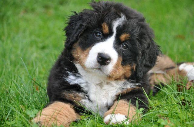Бернский зенненхунд – щенок