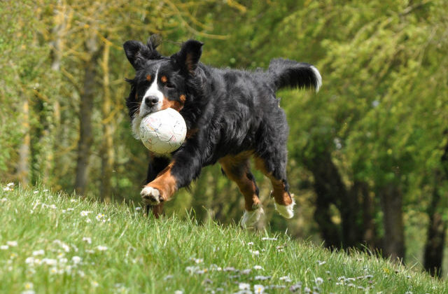 Бернский зенненхунд с мячом