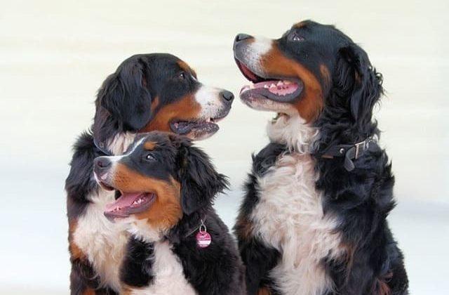 Собаки породы бернский зенненхунд