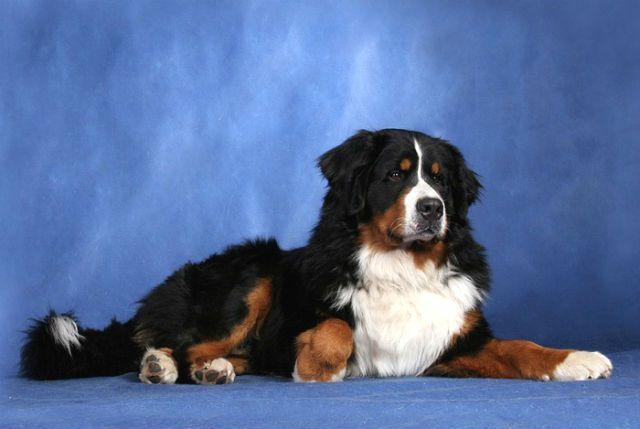 Бернский зенненхунд – крупная собака