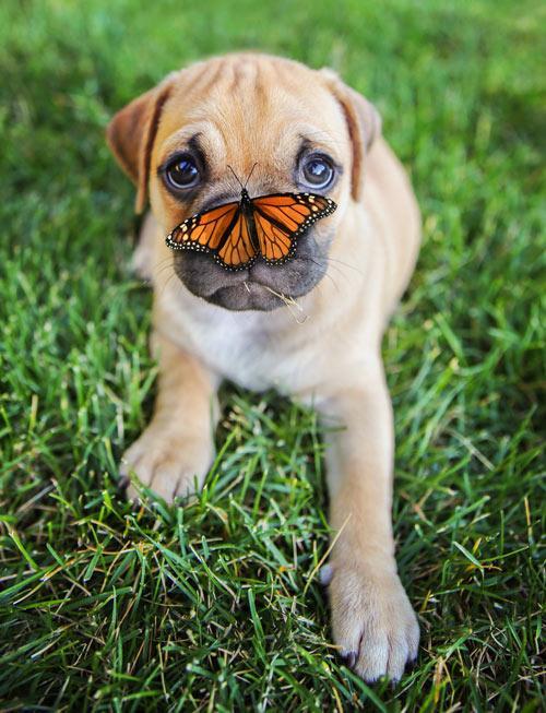 щенок боксера с баобчкой на носу