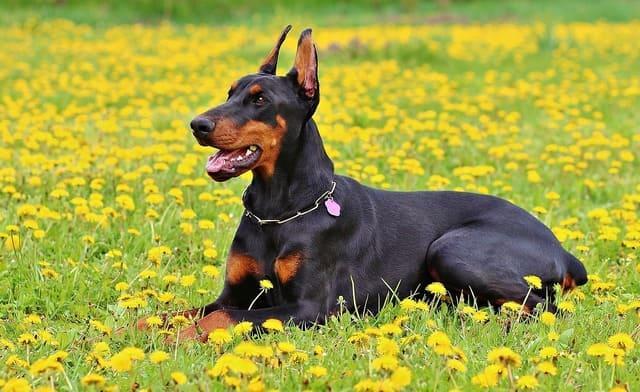 Доберман-пинчер – взрослая собака