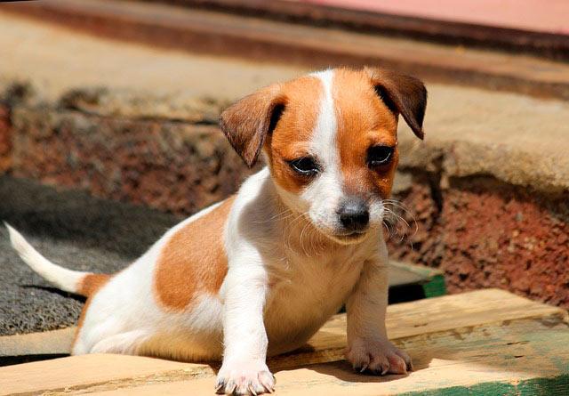 Джек рассел щенок