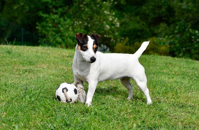 Джек рассел и мячик