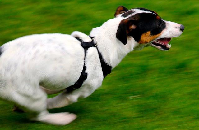 Джек рассел бежит
