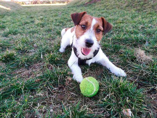 Джек рассел с мячем