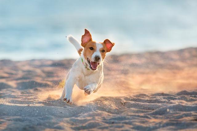 Джек рассел на пляже