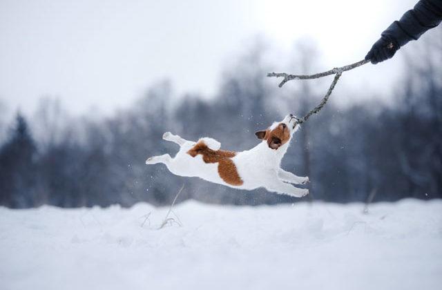 Джек рассел на снегу