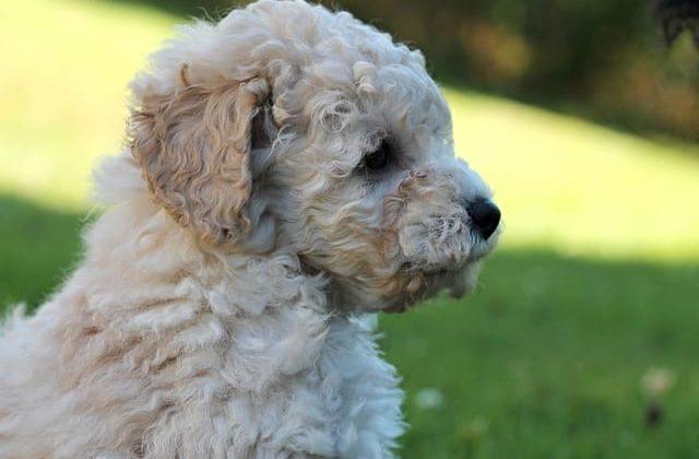 Порода собаки – карликовый пудель