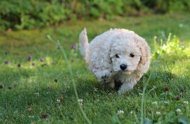 Белый щенок породы карликовый пудель