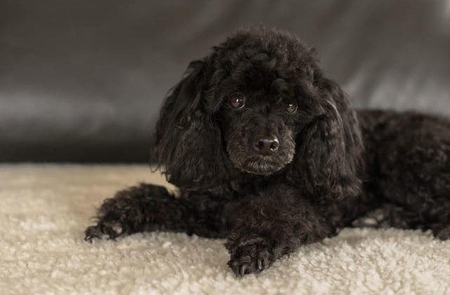 Карликовый пудель – щенок черного окраса