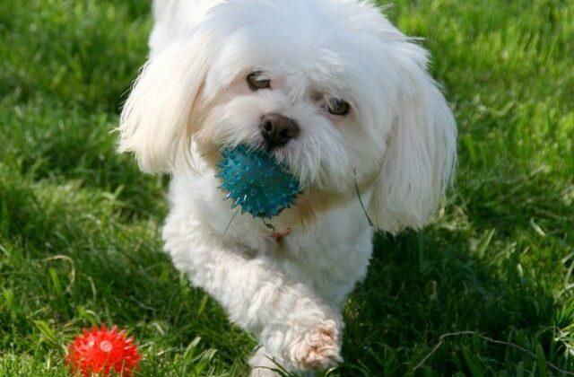 Белый кокер-пудель с мячом