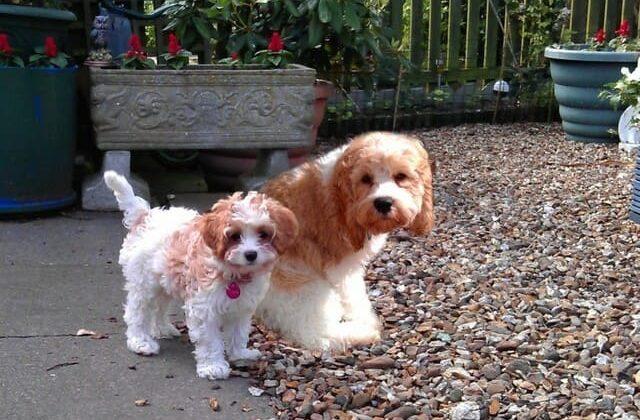Кокапу (кокер-пудель) – дизайнерская порода собак