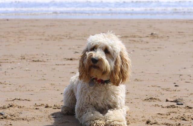 Кокер-пудель на пляже