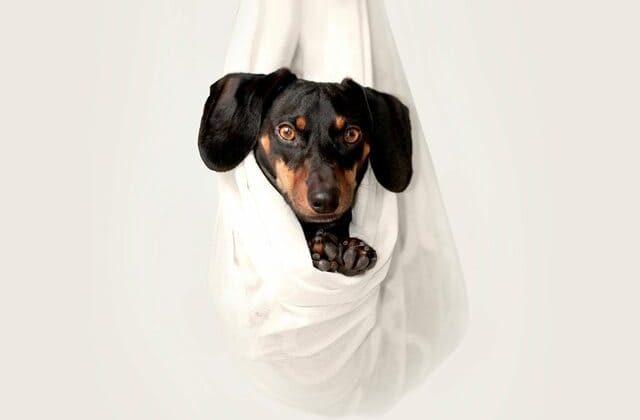 Кроличья такса – маленькая порода собак