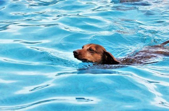 Кроличья такса в бассейне