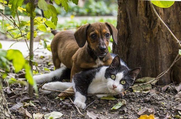 Кроличья такса с котом