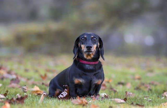 Кроличья такса – внешний вид собаки